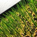 wheatgrass3-300x300